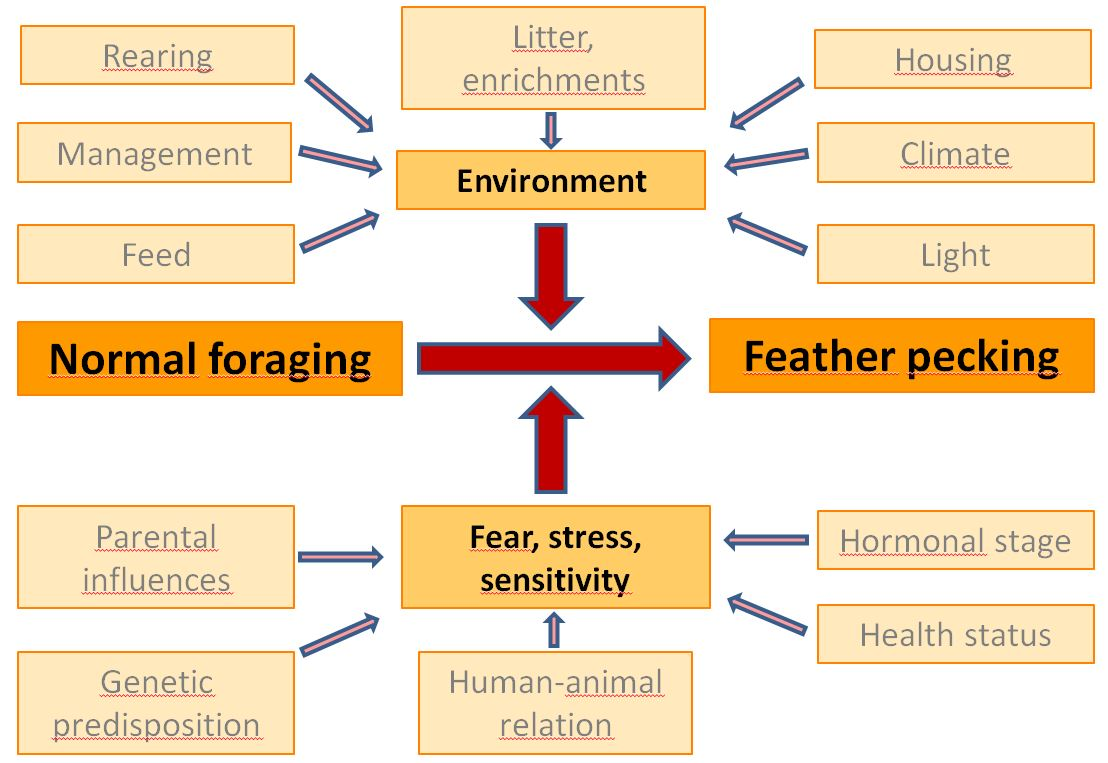 Risk factors of feather pecking